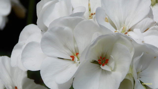 Close-up foto met witte geraniums.