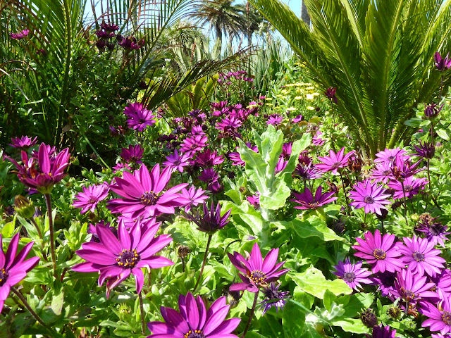 Abbey Gardens Tresco african daisy osteospermum