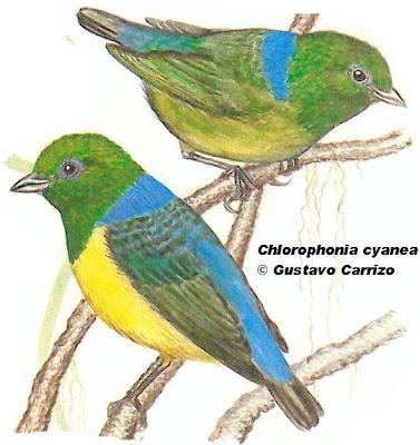 Tangará bonito Chlorophonia cyanea