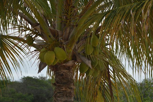 Playa Portomari Curacao cocos