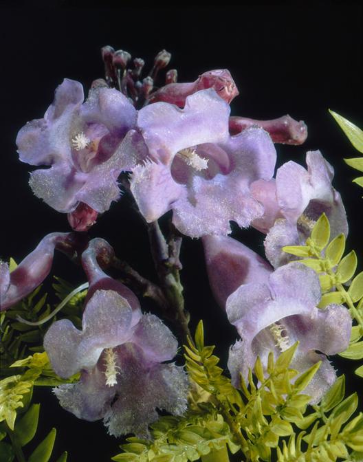 Small Jacaranda Tattoo: Morbid Anatomy: Blaschka Glass Flowers! LA Death Salon