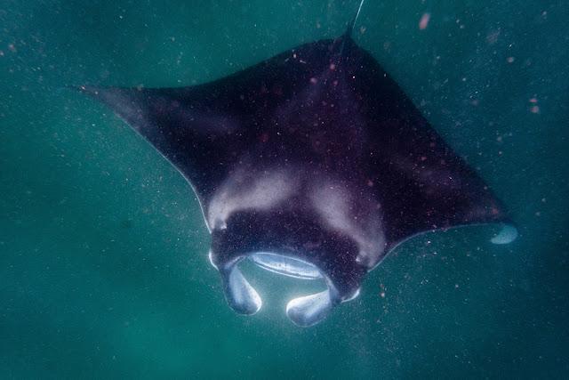 Freediving Safari -  Malediwy - Manty