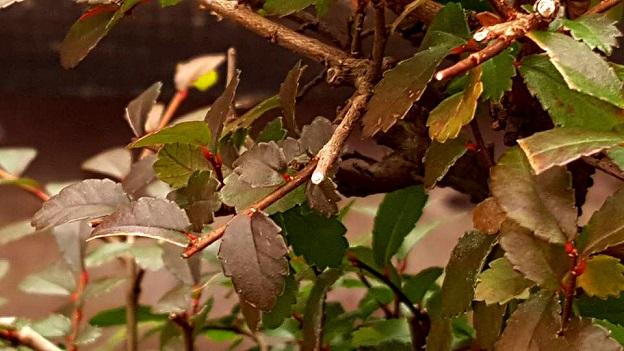 #BetiConsejo: Se me heló el bonsai y ahora QUE.