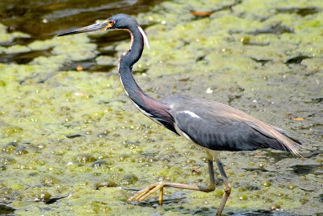 Tricolor Heron, Egretta tricolor