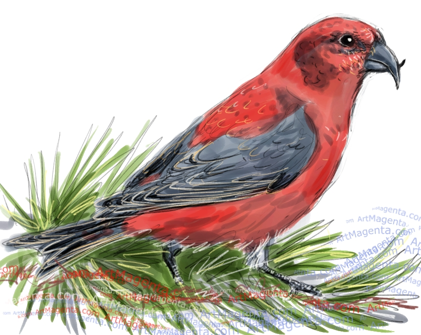 Crossbill sketch painting. Bird art drawing by illustrator Artmagent