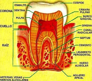 Dibujo de la anatomía de un diente humano y sus partes