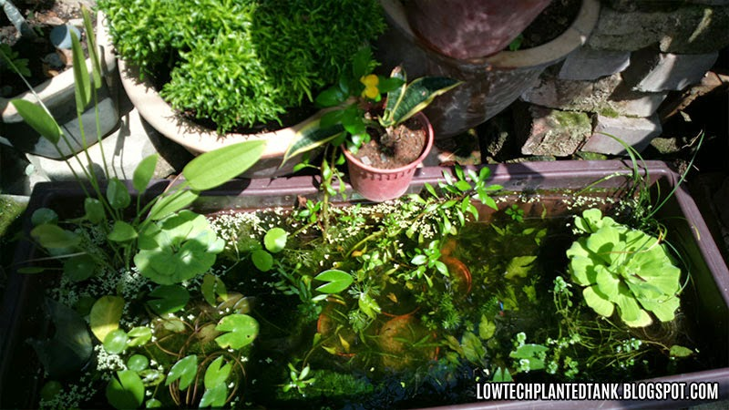 outdoor aquatic plant