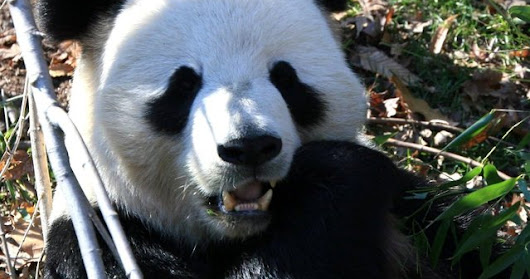 We Could Lose the Giant Panda