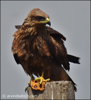 Front, View, Indian, Spotted, Eagle,