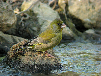 Greenfinch - Verdum