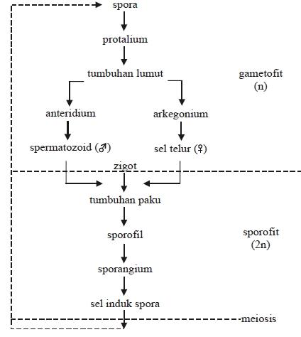 Diagram metagenesis tumbuhan paku homospor