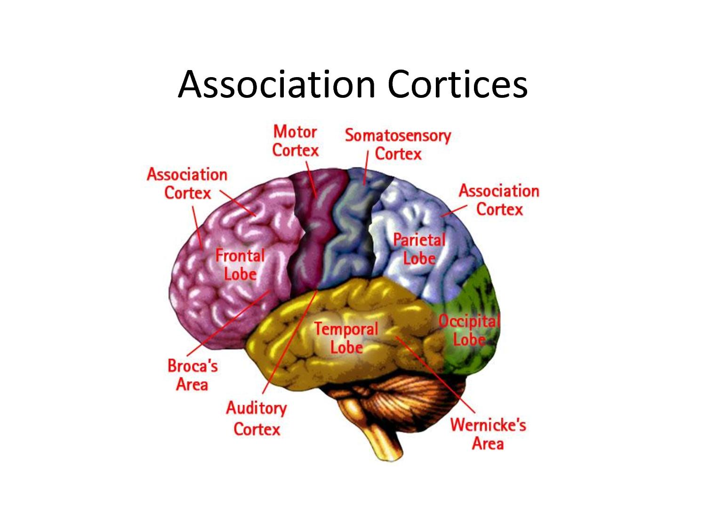 Primary Motor Area Of The Brain