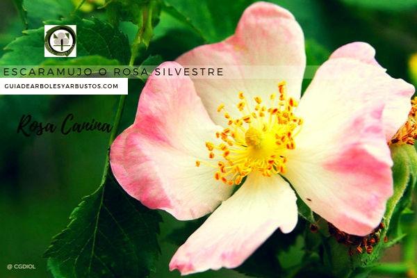 El rosal silvestre, Rosa canina, su fruto es el escaramujo, nativas de las regiones templadas del hemisferio norte
