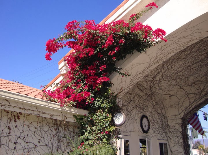 bougainvillea on Dynasty Suites in Redland CA