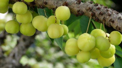 Aneka Manfaat Buah Gooseberry untuk Kesehatan