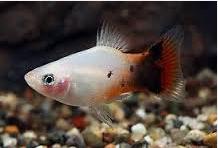 Ikan Hias Kecil Jenis Platy