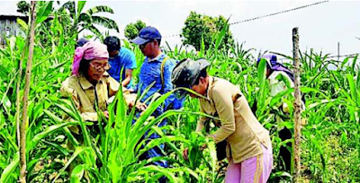Fall armyworm attack crops in Mizoram