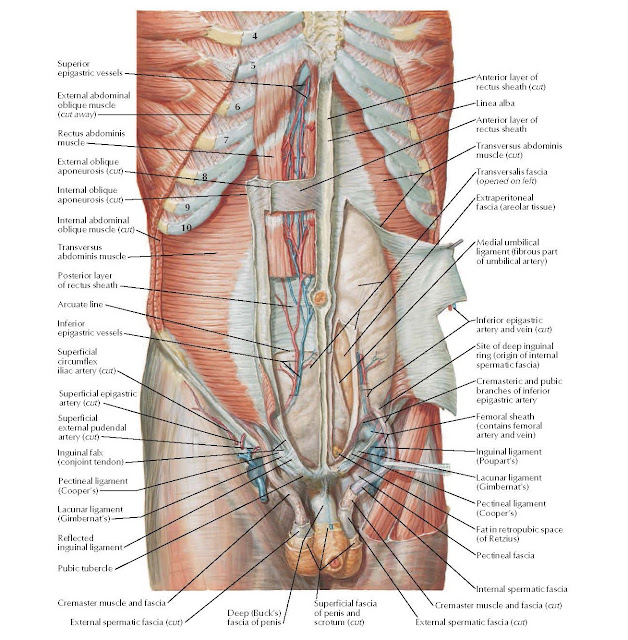 Anterior Abdominal Wall: Deep Dissection Anatomy Superior epigastric vessels, External abdominal oblique muscle (cut away), Rectus abdominis muscle, External oblique aponeurosis (cut), Internal oblique aponeurosis (cut), Transversus abdominis muscle, Internal abdominal oblique muscle (cut), Posterior layer of rectus sheath, Arcuate line Inferior epigastric vessels, Superficial circumflex iliac artery (cut), Inguinal falx (conjoint tendon), Reflected inguinal ligament, Pubic tubercle, Cremaster muscle and fascia, External spermatic fascia (cut), Anterior layer of rectus sheath (cut), Linea alba, Anterior layer of rectus sheath, Transversus abdominis muscle (cut), Transversalis fascia (opened on left), Extraperitoneal fascia (areolar tissue), Medial umbilical ligament (fibrous part of umbilical artery), Inferior epigastric artery and vein (cut), Site of deep inguinal ring (origin of internal spermatic fascia), Cremasteric and pubic branches of inferior epigastric artery, Femoral sheath (contains femoral artery and vein), Fat in retropubic space (of Retzius), Pectineal fascia, Internal spermatic fascia, Deep (Buck's) fascia of penis, Superficial fascia of penis and scrotum (cut), Cremaster muscle and fascia (cut), External spermatic fascia (cut), Inguinal ligament, (Poupart's), Pectineal ligament (Cooper's), Lacunar ligament (Gimbernat's), Pectineal ligament (Cooper's), Lacunar ligament (Gimbernat's), Superficial epigastric artery (cut), Superficial external pudendal artery (cut).