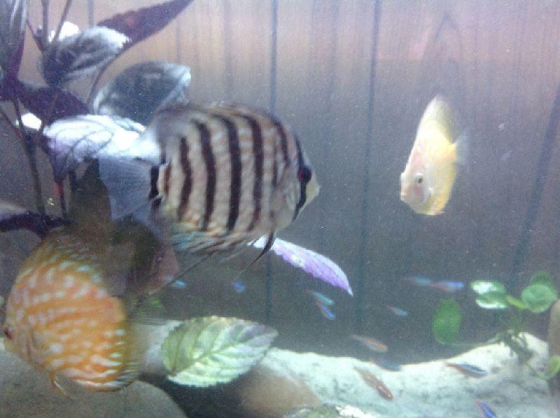 ikan berenang di permukaan akuarium