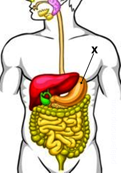30 Soal Materi Sistem Pencernaan Pada Manusia Karbohidrat Mineral Protein Dan Gangguan Pada Sistem Pencernaan Beserta