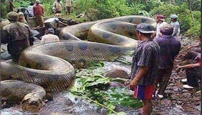 Anaconda Hijau