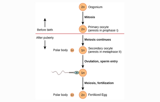 Proses OOgenesis