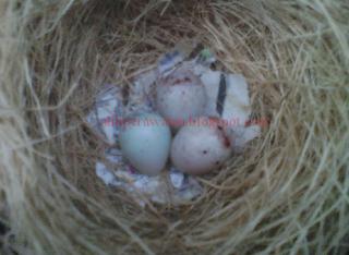 Faktor Penyebab Telur Burung Kenari Gagal Menetas