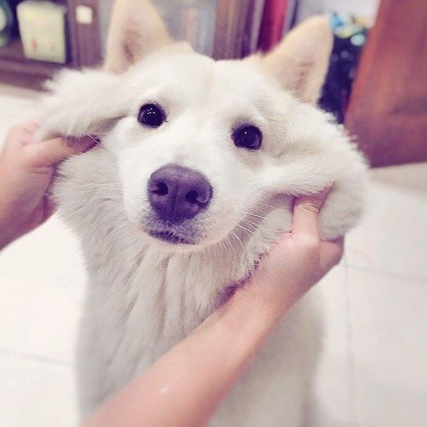 Chú chó samoyed chăm em