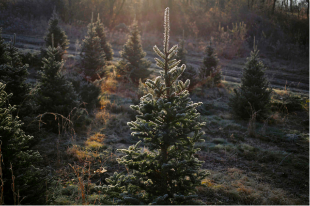 Amazon will sell full-size, live Christmas trees thiѕ holiday season