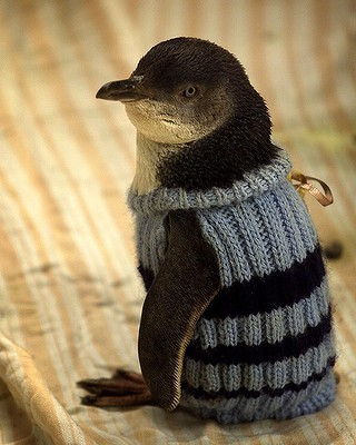 Fairy Penguin wearing a little sweater after an oil spill. No Kicking Penguins and other penguin stories. marchmatron.com
