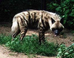 Çizgili Sırtlan (Hyaena hyaena)