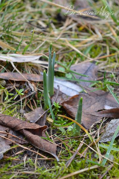 żonkile na trawniku