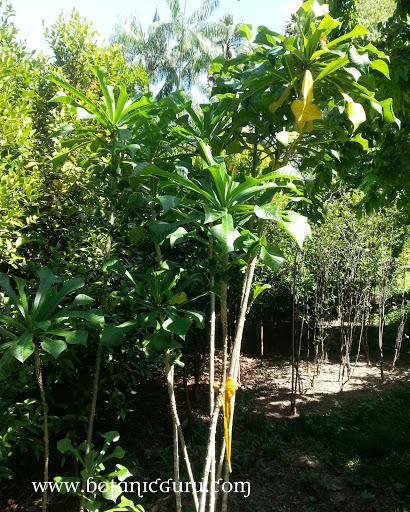 Plumeria pudica, Bridal Bouquet, Fiddle Leaf Plumeria shrub