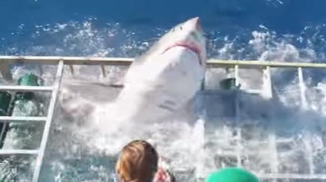 Απίστευτο βίντεο: Δύτης εγκλώβίζεται σε κλουβί με καρχαρία