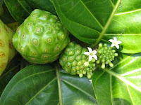 fruits du noni