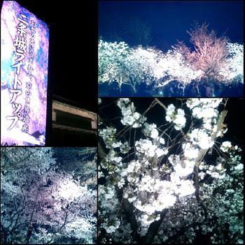 二条城の桜ライトアップ