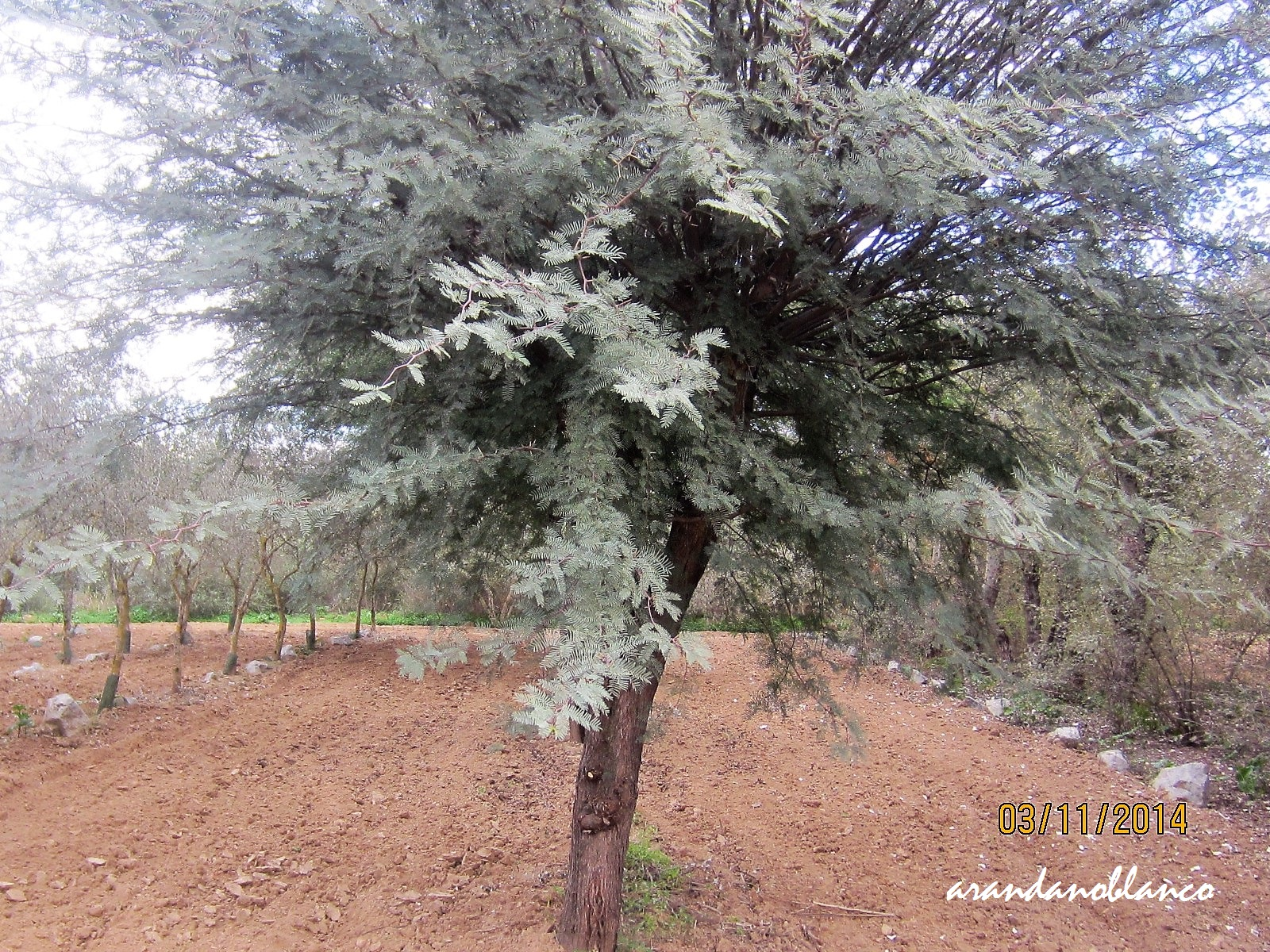 Parquealamillo encinarosa prosopis chilensis algarrobo for Vivero del parque