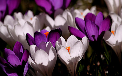 crocus flower widescreen resolution hd wallpaper
