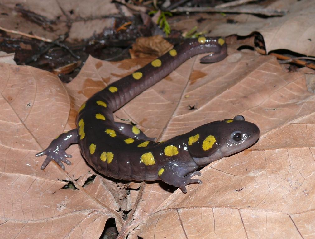 Ohio Birds and Biodiversity Ohio Amphibian Conference