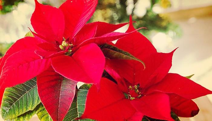Cuidados de la flor de navidad