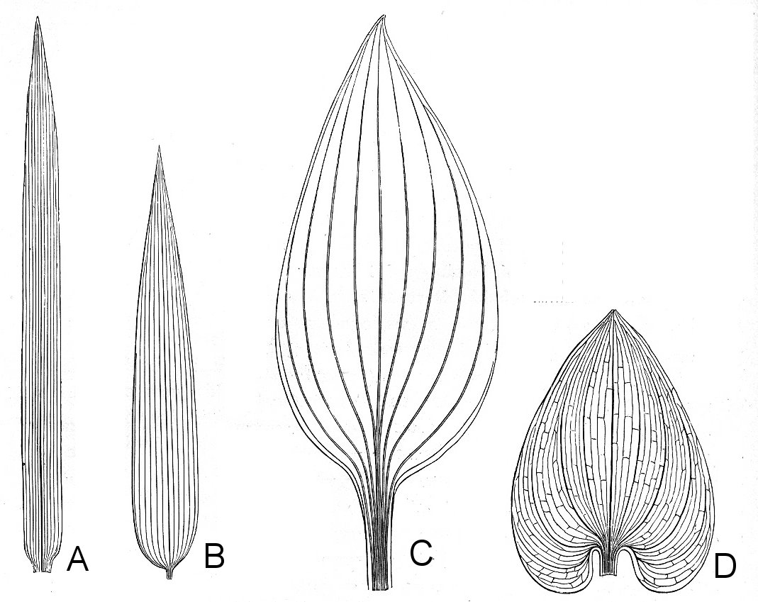 Botany Professor How The Grass Leaf Got Its Stripes