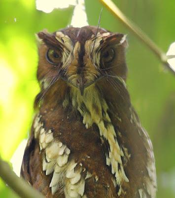 Feline Owlet nightjar
