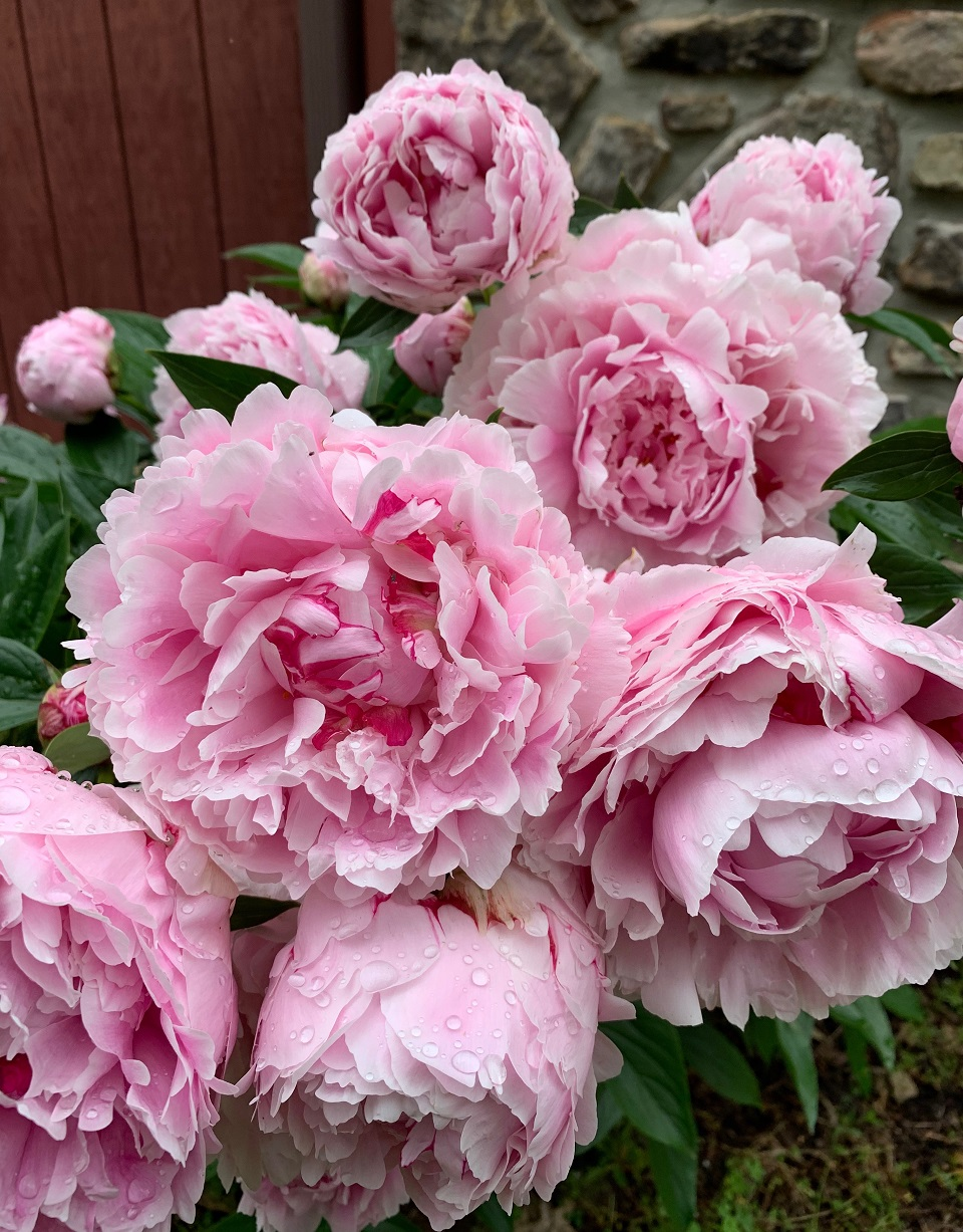 In my garden Peonies after the rain