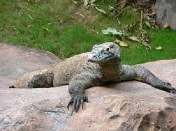 komodo,kadal besar,pulau komodo,taman nasional