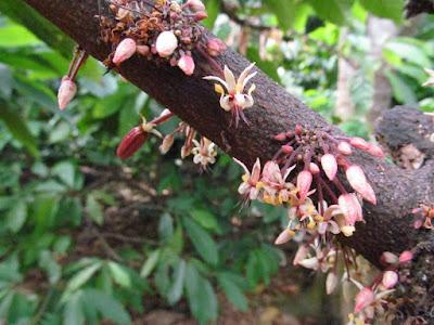 Fioritura Pianta del Cacao