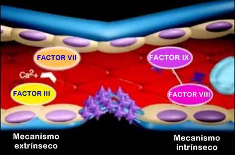 Mecanismo extrínseco e intrínseco de la coagulación sanguínea