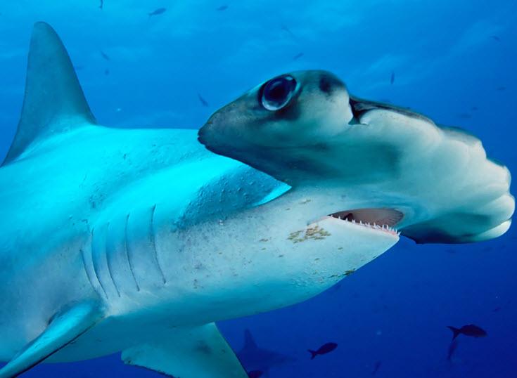 largest hammerhead shark - photo #3