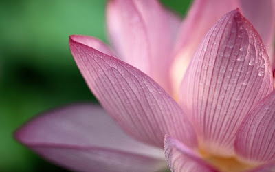 lotus flower widescreen hd wallpaper