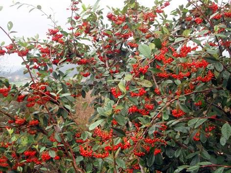 Cotoneaster francheti cargado de frutos
