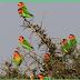 Tips Memilih Lovebird untuk Lomba dan Breeding